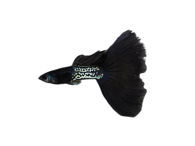 Quality Guppy Fish Metal Black Lace 1Male 1Female removebg preview