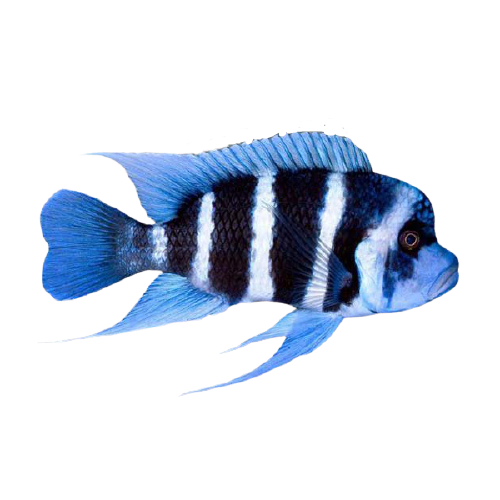 Cyphotilapia frontosa Humphead Cichlid removebg preview 1
